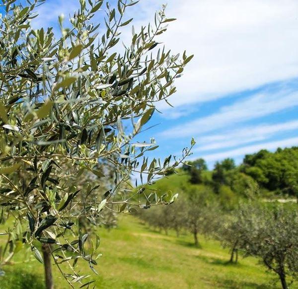 Immagine per la categoria Raccolta olive